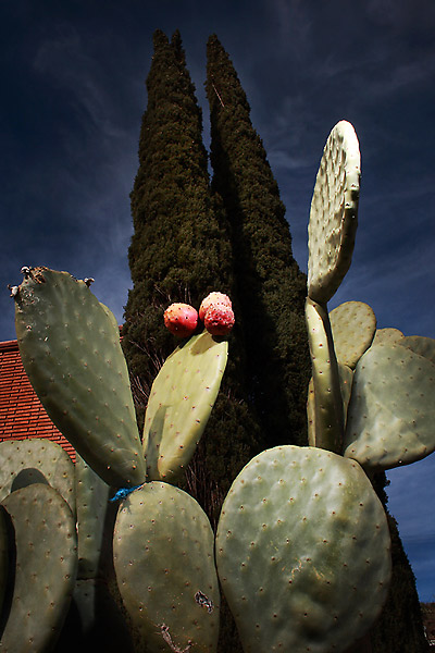 A Prickly Pear shot in Miami, Arizona