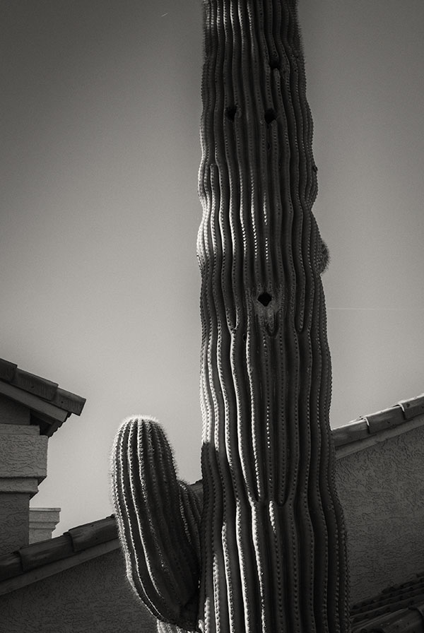 The Saguaro Cactus only grows in Arizona. Permits are required to have them in your yard or garden