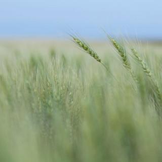 wheat_0317